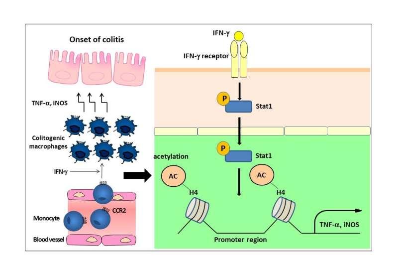 Colon signaling pathway key to inflammatory bowel disease