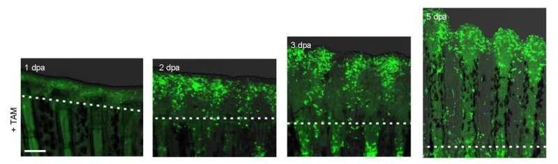 Complete skin regeneration system of fish unraveled