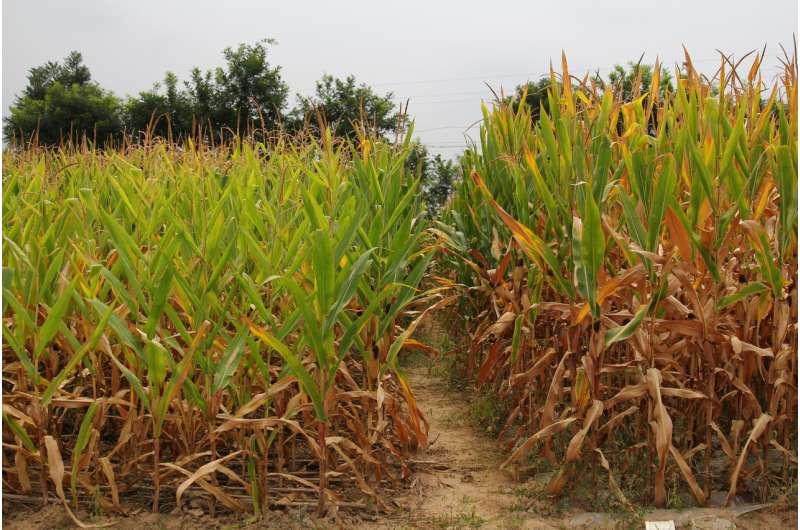 El maíz con mantillo de paja aumenta el rendimiento, el carbono del suelo