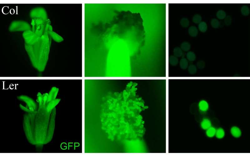Counting chromosomes: Plant scientists solve a century-old mystery about reproduction