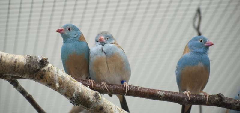 Couples showing off: Songbirds are more passionate in front of an audience