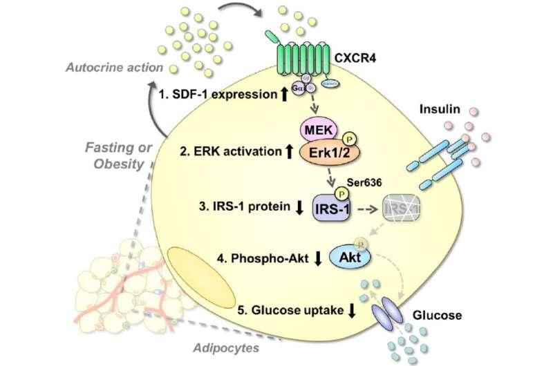 Culprit in reducing effectiveness of insulin identified