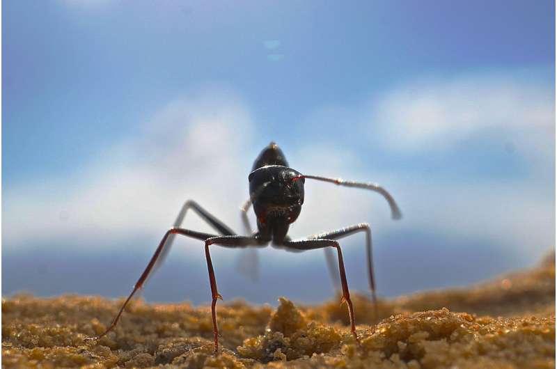 Desert ants have an amazing odor memory