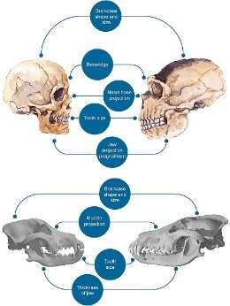 Did humans domesticate themselves?