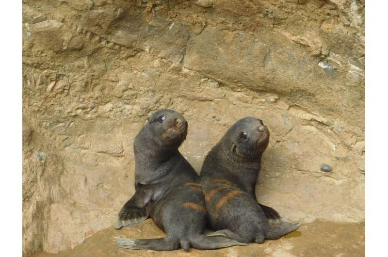 Die-off of fur seal pups attributed to mites, pneumonia and changing sea temperatures