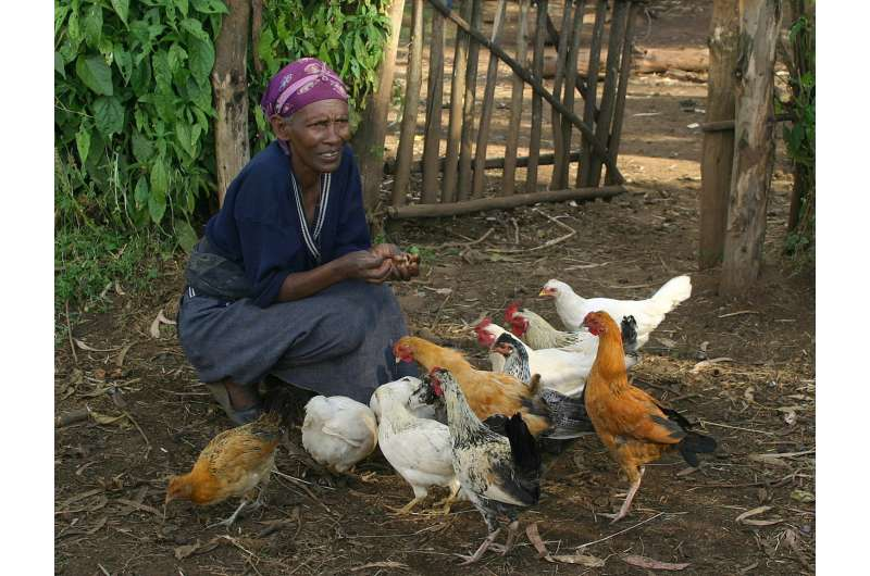 Diversity is key to sustainability for local chicken farming in Africa