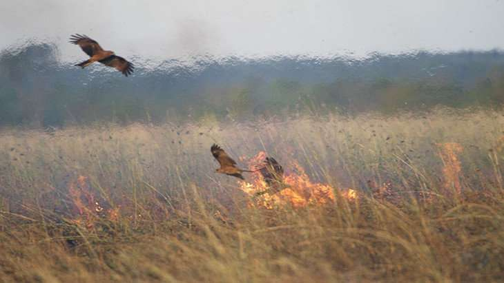 Do firehawks intentionally spread fire to aid in food collection?