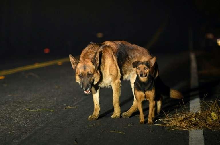 Dogs roam burned out neighborhoods as the Camp fire tears through Paradise