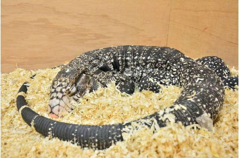 Do lizards dream like us?