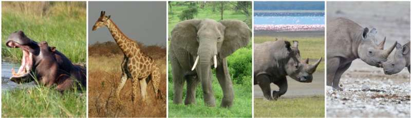 Early human ancestors not to blame for extinctions of giant African mammals