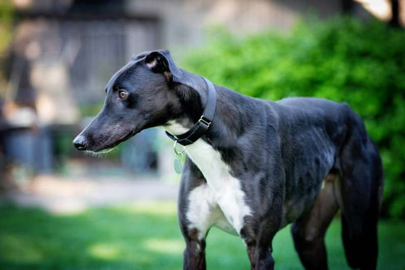 Easy pets or fast dogs? The problem with labelling greyhounds