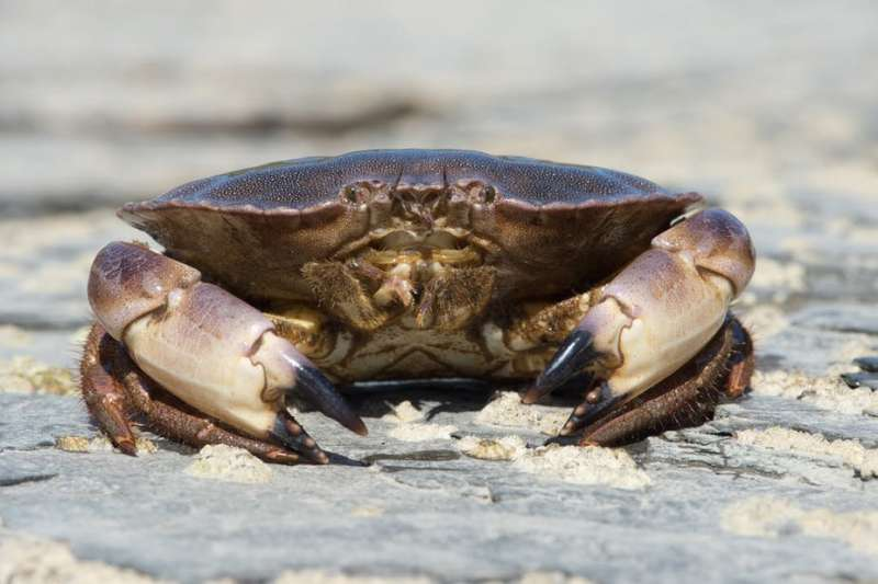Edible crabs won't cope with the effects of climate change on seawater – new study