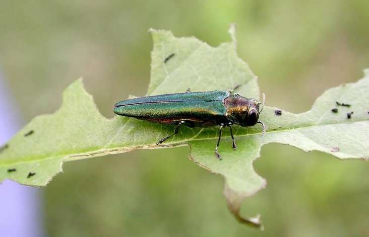 Emerald ash borer: How cities and towns can prepare for invasion