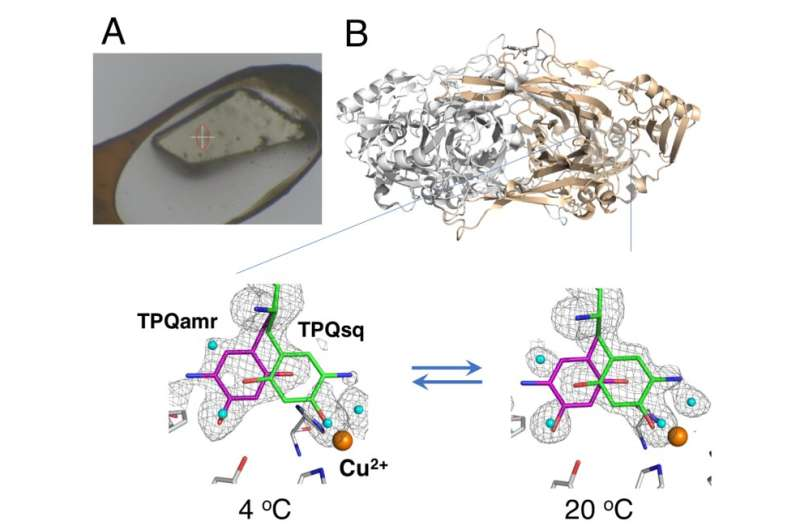 Enzyme's unfrozen adventure: In crystallo protein thermodynamics