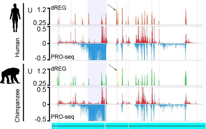 Evolving sets of gene regulators explain some of our differences from other primates