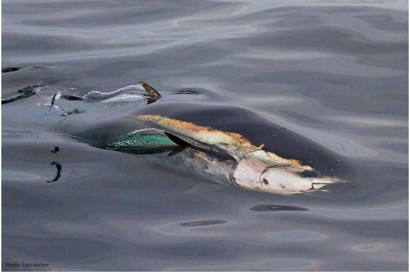 Experts team up to study bluefin tuna and confirm return to UK waters
