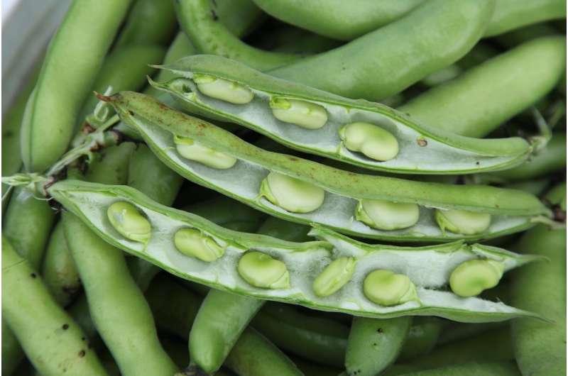 Faba fix for corn's nitrogen need