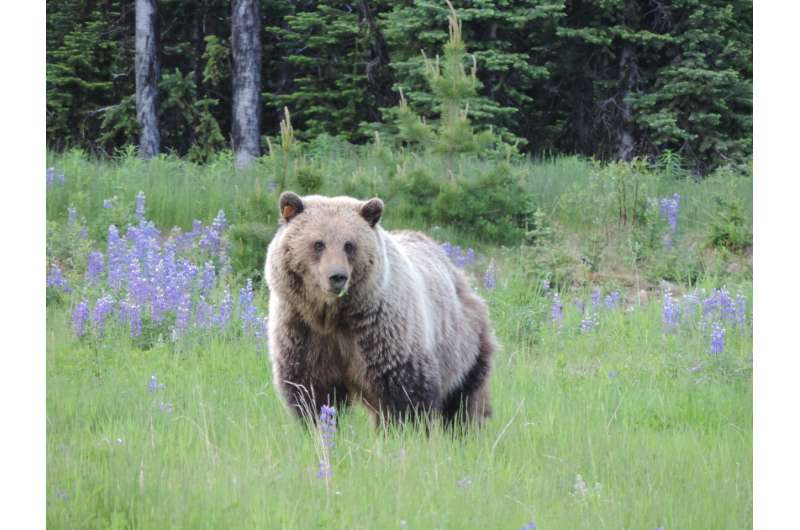 Factors affecting the success of grizzly bear translocations
