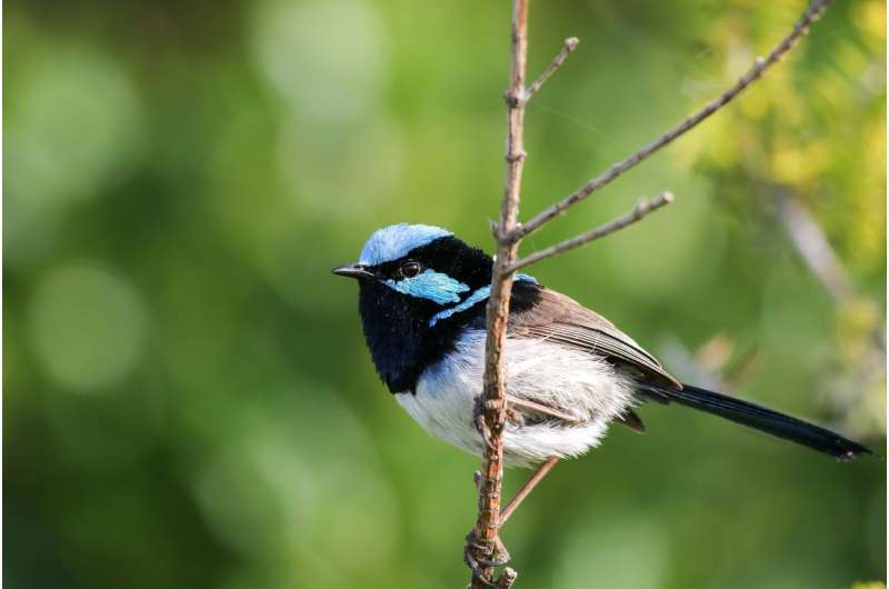 Fairy-wrens learn alarm calls of other species just by listening