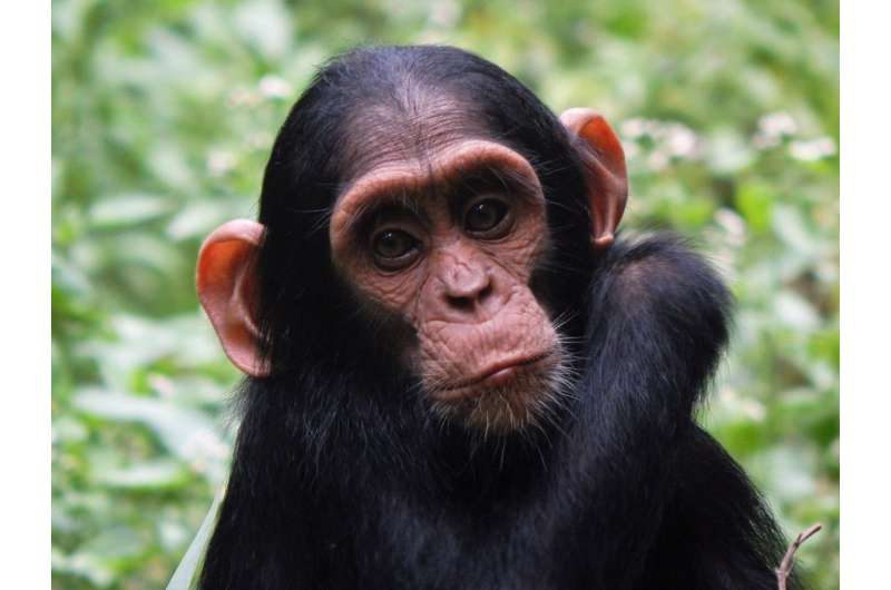 Female chimpanzees know which males are most likely to kill their babies