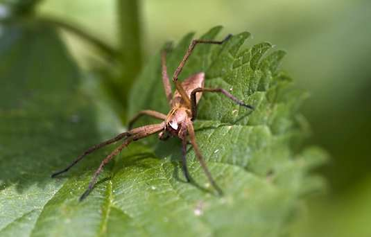 Female nursery web spiders judge males based on gift quality