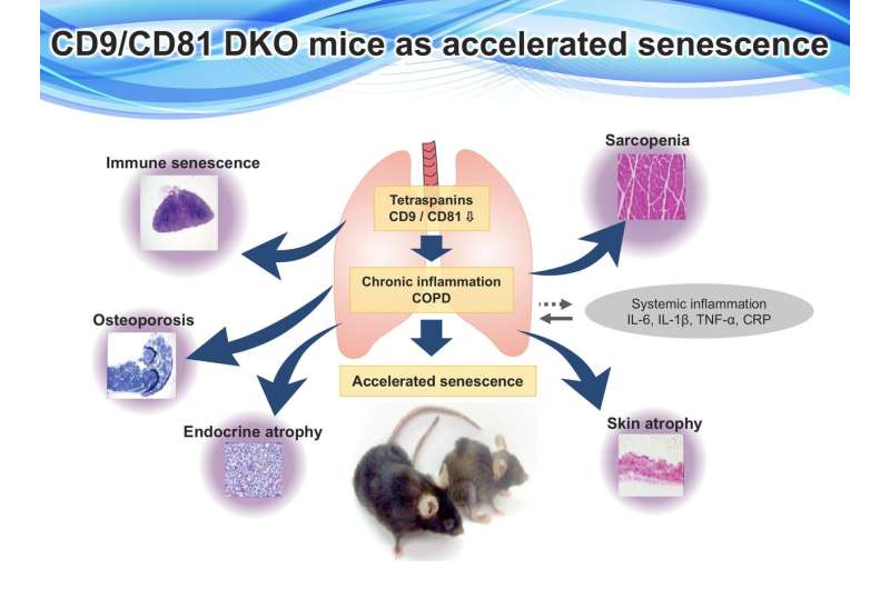 Formidable duo: Protective effect of CD9 and CD81 in COPD and accelerated aging