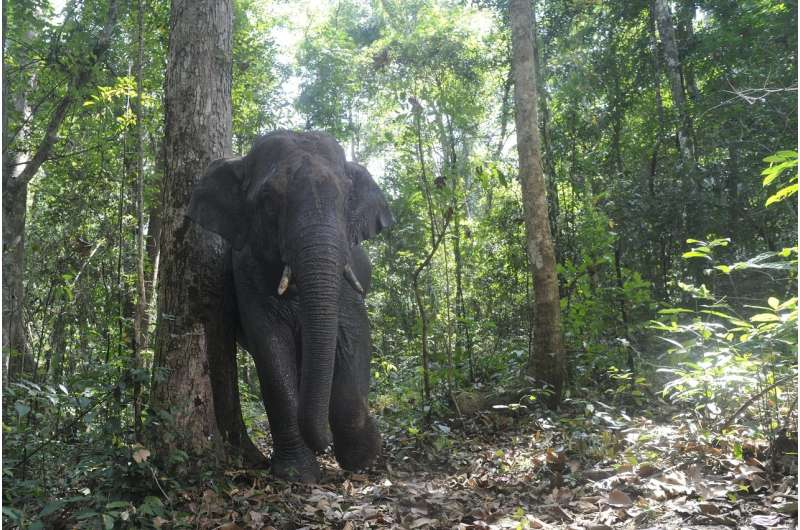 For one tropical tree, effective seed dispersal relies especially on elephants