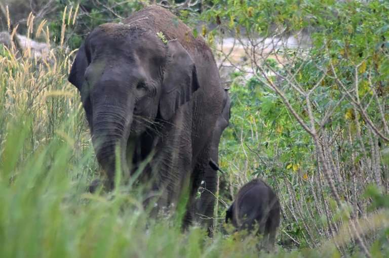 Forty-year-old elephant Seruni (L), a critically endangered Sumatran elephant, is shown with her newborn baby on the Indonesian