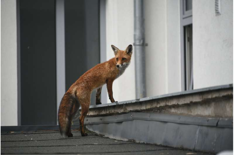 Foxes in the city: Citizen science helps researchers to study urban wildlife