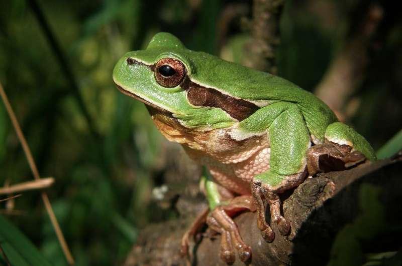 Freezing frog cells for conservation