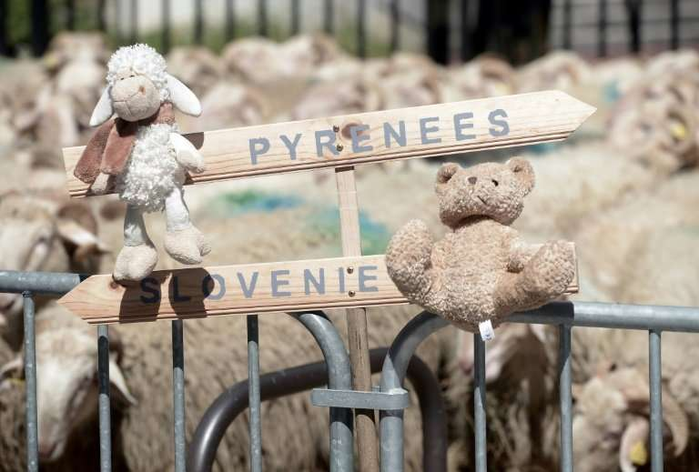French shepherds have held a number of protests over plans to bring bears to the French Pyrenees from Slovenia, with the demonst