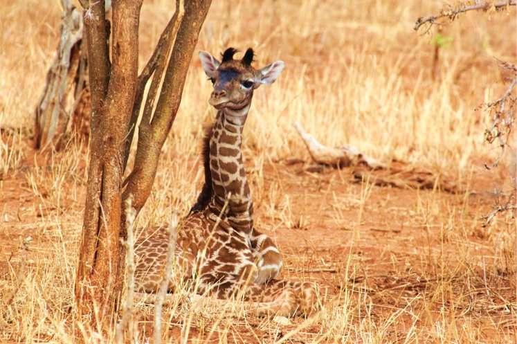 Giraffe babies inherit spot patterns from their mothers