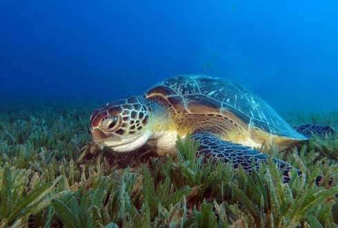 Green sea turtle digging its own watery grave due to invasion of non-native seagrass