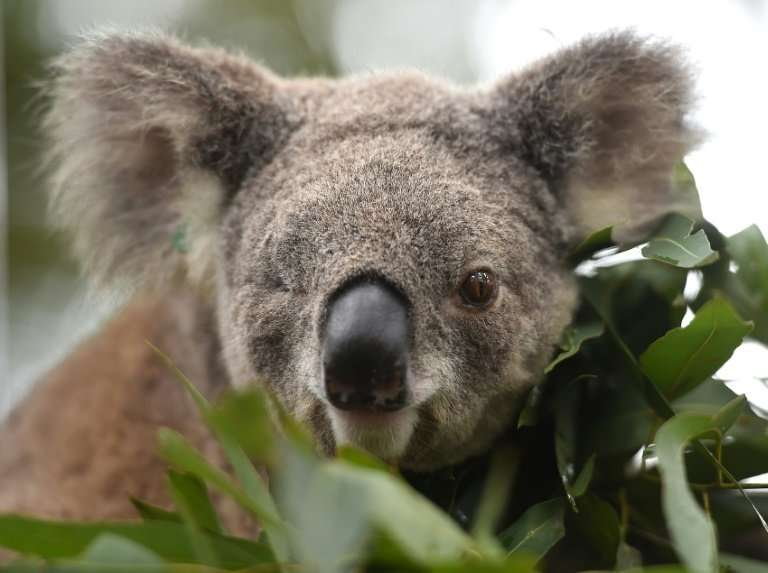 Habitat loss, dog attacks, car strikes, climate change and disease have taken their toll on one of Australia's most recognisable