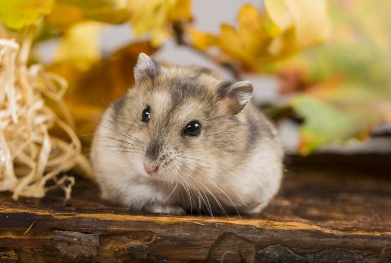 Hamsters may hold the clue to beating obesity