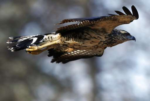 Hawk native to South America wows crowd in Maine park