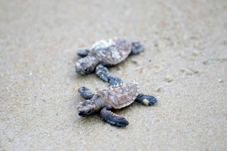 Hawksbill turtles are considered critically endangered
