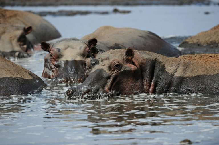 Hippopotamuses are among the many species affected by the threat to Lake Turkana, says the UN