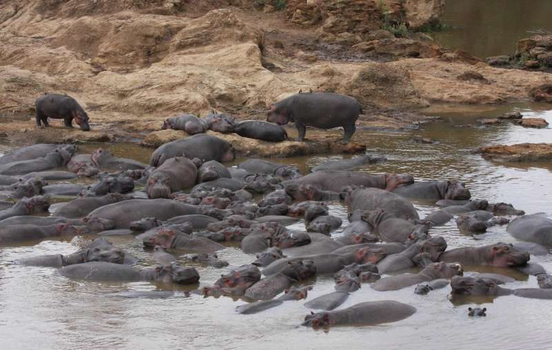 Hippo waste causes fish kills in Africa's Mara River
