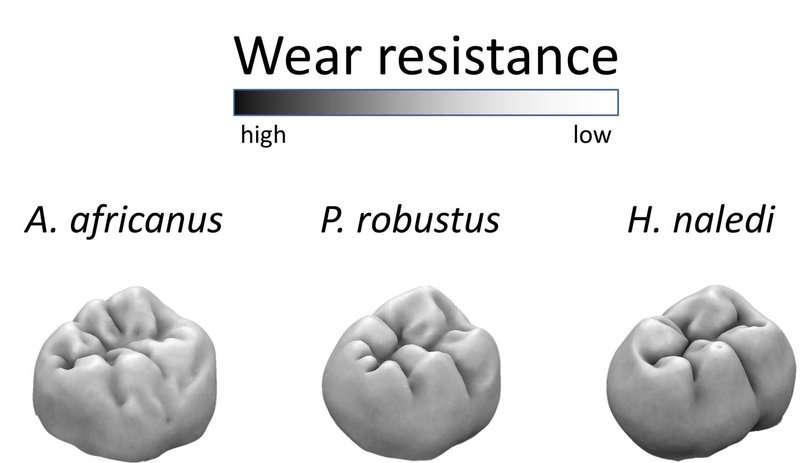 Homo naledi had wear-resistant molars