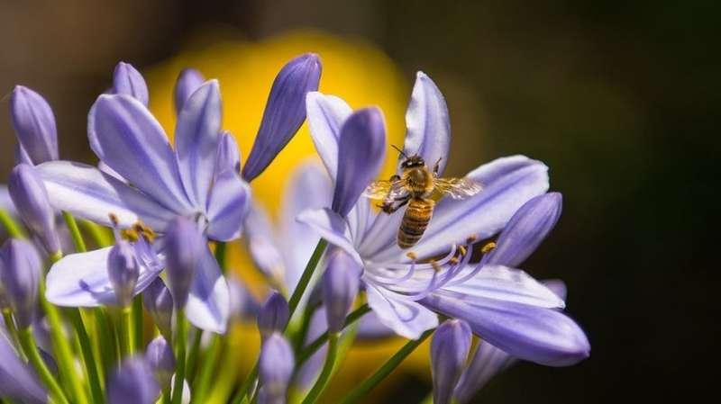 Las abejas melíferas, que ya están en riesgo, enfrentan una nueva amenaza de un herbicida común