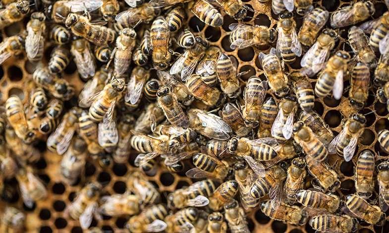 Honeybees may unlock the secrets of how the human brain works