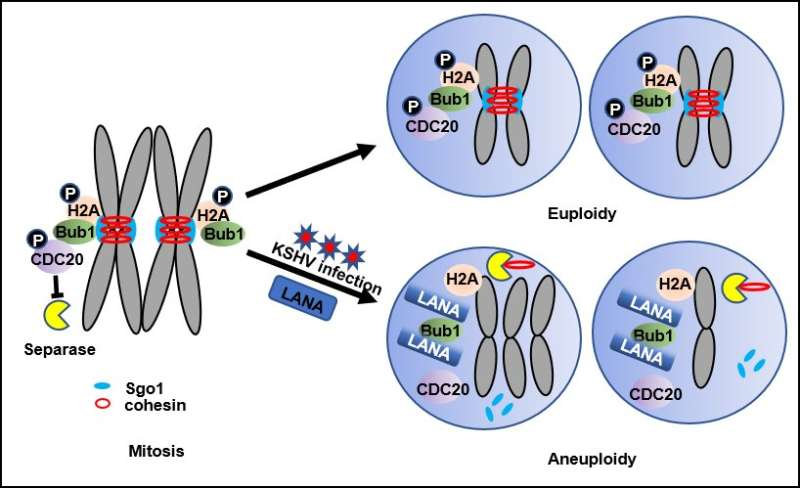 How a virus destabilizes the genome