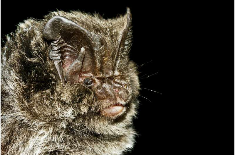 How barbastelle bats trick moths that are able to hear their echolocation calls