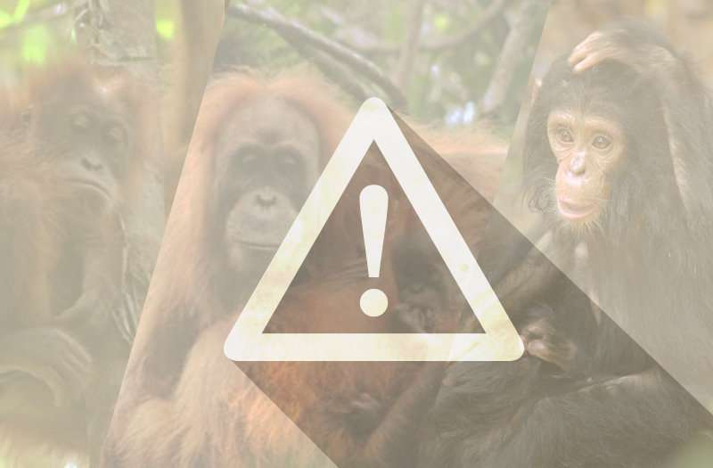 How cellphones are killing gorillas, and other threats to apes you didn't know about