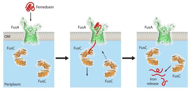 How plant-rotting bacteria steal iron to survive