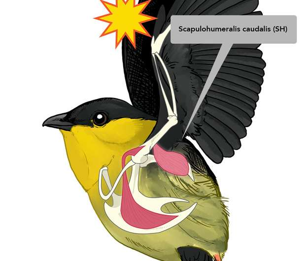 How the world's fastest muscle created four unique bird species