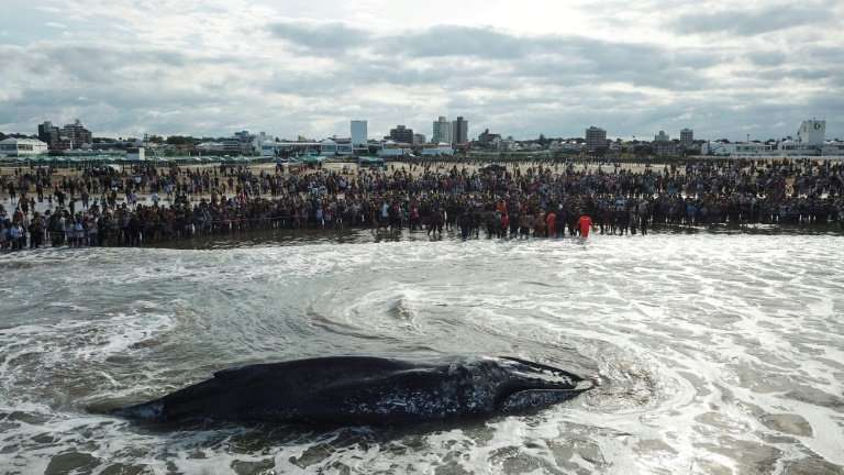 Hundreds of people turned out to try to help a whale stranded on a beach in Argentina's Mar del Plata resort