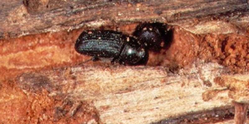 Hybrid mountain pine beetles set to spread more easily