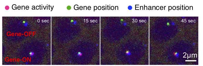 Imaging in living cells reveals how 'junk DNA' switches on a gene